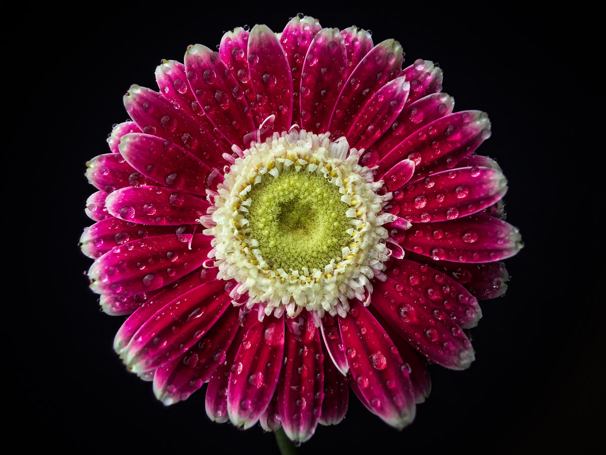 Waterdrops on pink gerbera